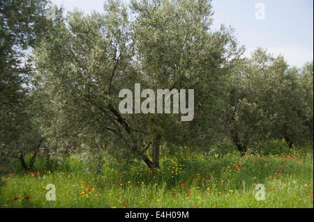 Olive, Olea europaea. - Stock Photo