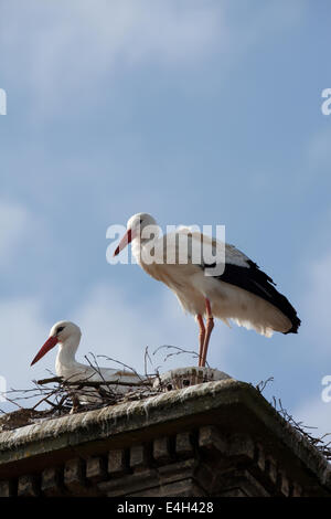 White Storks (Ciconia ciconia). Nesting on top of a chimney stack. Thrigby Hall Wildlife Gardens, Filby, Great Yarmouth, - Stock Photo