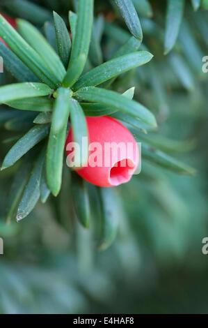 Yew, Irish Yew, Taxus baccata fastigiata. - Stock Photo