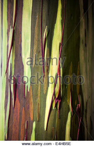 Rainbow Eucalyptus (Eucalyptus deglupta) Tree Bark, Hawaii, USA - Stock Photo