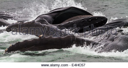 Bubblenet Feeding Humpback Whales (Megaptera novaeangliae), Alaska, USA - Stock Photo