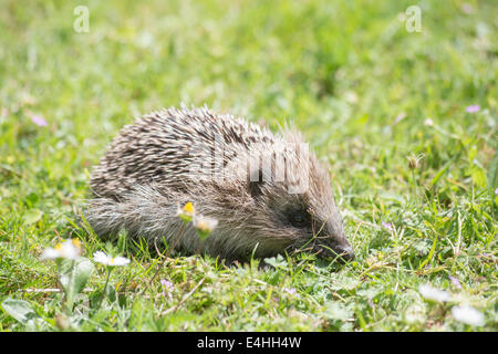 Close up lateral view of a European hedgehog (Erinaceus europaeus) foraging in the daytime in grass on a garden - Stock Photo