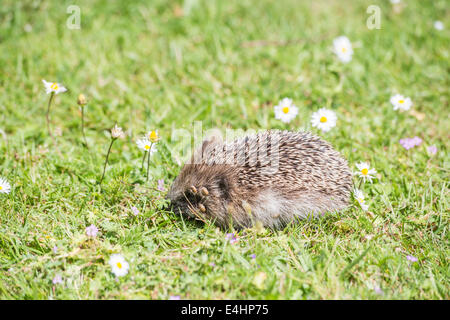 Side view (lateral view) of a European hedgehog with an infestation of ticks on its head around its eye foraging - Stock Photo