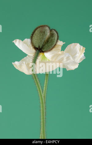 White Poppy in bloom and Poppy Bud on green background - Stock Photo