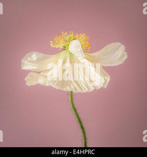 White Poppy in bloom on pink background - Stock Photo