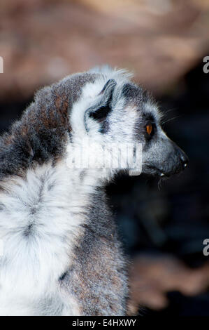 Picture of a nice lemur with beautiful eyes and skin. - Stock Photo