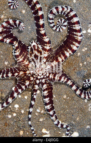 Mimic octopus (Thaumoctopus mimicus) Lembeh Strait, Indonesia - Stock Photo