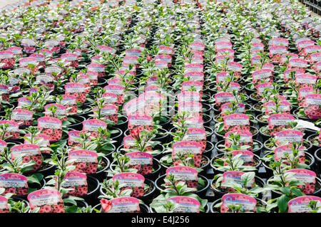 Lots of Surfina plants for sale in a polytunnel greenhouse. - Stock Photo