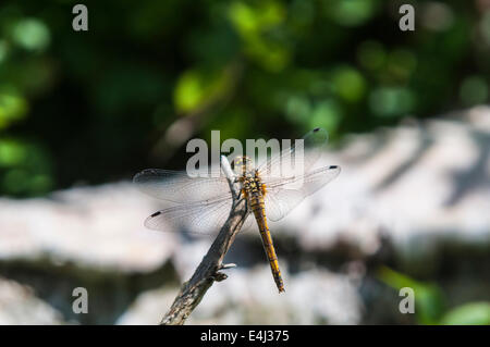 An female Black Darter, Sympetrum danae at rest on a twig. - Stock Photo