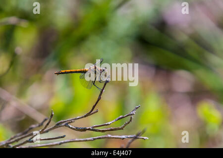 An Immature male Black Darter, Sympetrum danae at rest on a twig. - Stock Photo