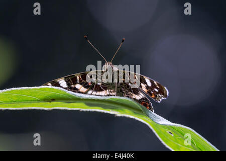 Map butterfly resting on a leaf with backlight on a dark background - Stock Photo