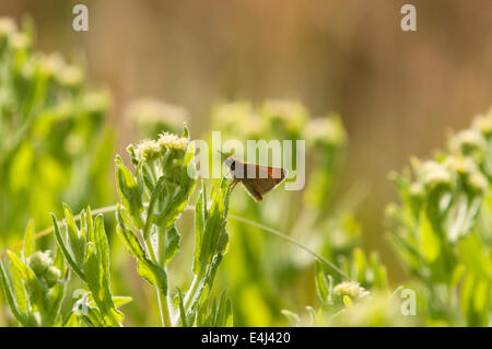 A male Large Skipper Butterfly, Ochlodes sylvanus, at rest on a vegetation - Stock Photo