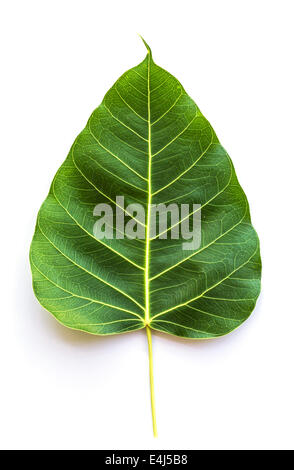 Texture Bodhi or Sacred fig leaf on white background. - Stock Photo