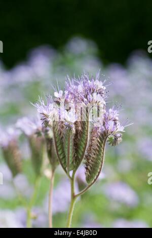 Phacelia tanacetifolia growing in an English garden. - Stock Photo