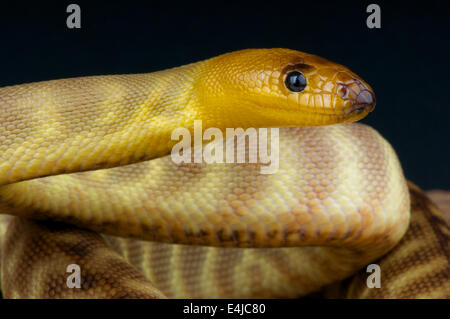 Sand python / Aspidites ramsayi - Stock Photo