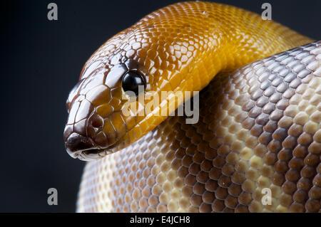 Woma python / Aspidites ramsayi - Stock Photo