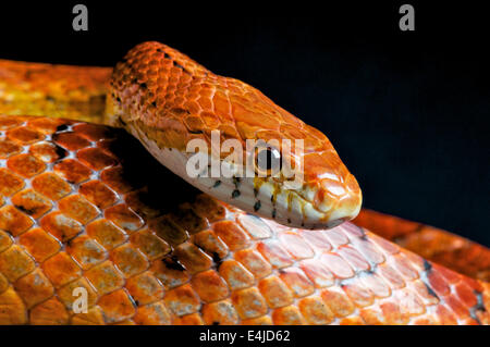 Corn snake / Pantherophis guttatus - Stock Photo