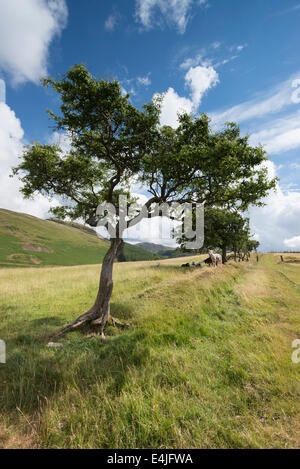 Small hardy tree against a bright blue sky with fluffy white clouds at Croasdale in the English Lake District on - Stock Photo