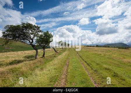 A row of small hardy windswept trees along a farm track on a sunny summer day at Croasdale in the Lake District, - Stock Photo
