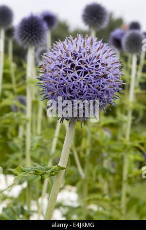 Echinops bannaticus 'Taplow Blue' flowers - Stock Photo