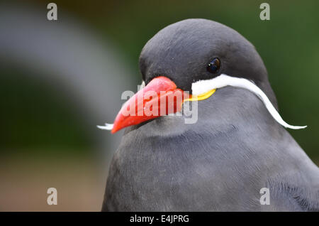 Inca Tern - Stock Photo