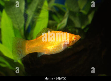 Female of Yucatan Molly Poecilia velifera Poeciliidae, Central America - Stock Photo