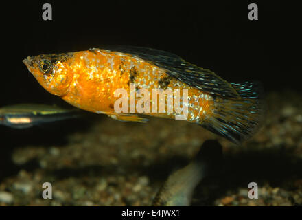 Yucatan Molly Poecilia velifera Poeciliidae, Central America - Stock Photo