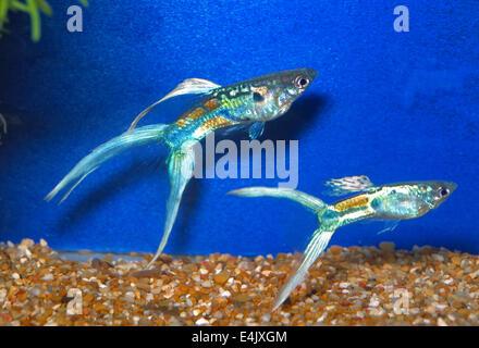 Guppy Poecilia reticulata 'Double Sword Multicolor', Poeciliidae, South America, - Stock Photo
