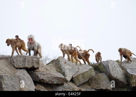 Group of baboons of species Simia hamadryas - Stock Photo