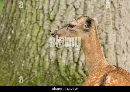 Fallow deer when eating bread on green meadow grassland in forest in summer - Stock Photo