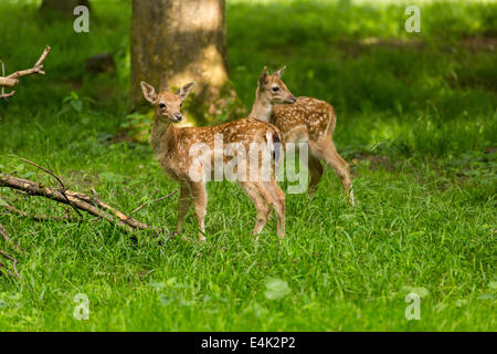 Two young toddler fawn fallow deer kids playing on green meadow grassland in forest in summer - Stock Photo