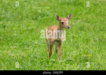 Young toddler fawn fallow deer kids playing on green meadow grassland in forest in summer - Stock Photo
