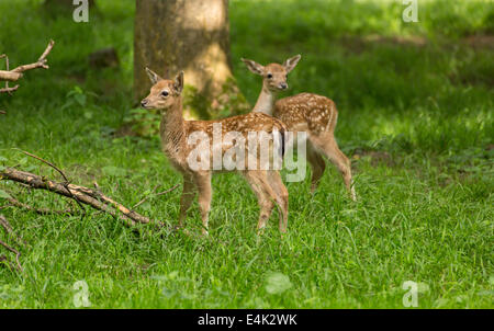 Two young toddler fawn fallow deer kids playing on green meadow grassland in forrest in summer