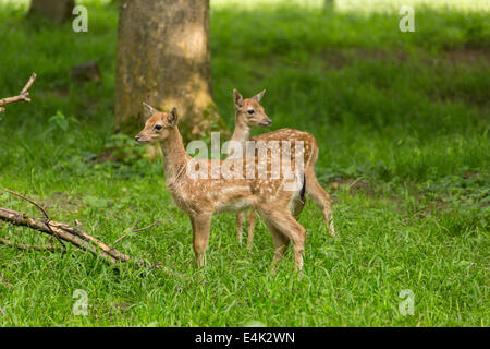 Two young toddler fawn fallow deer kids playing on green meadow grassland in forrest in summer - Stock Photo