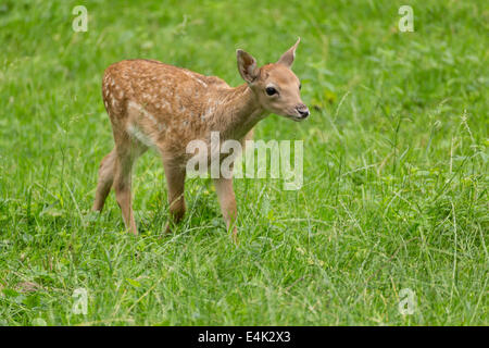 Young toddler fawn fallow deer kids playing on green meadow grassland in forrest in summer - Stock Photo