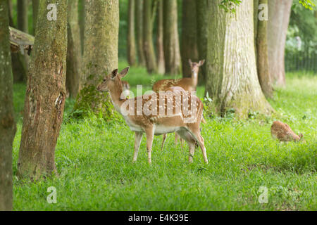 Fallow deer family when grazing on green meadow grassland in forest in summer - Stock Photo