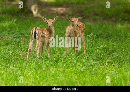 Two young toddler fawn fallow deer kids playing on green meadow grassland in forest in summer