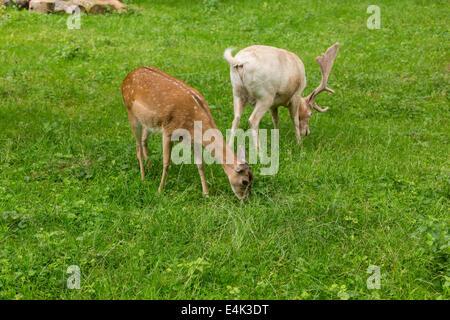 Fallow deer family when grazing on green meadow grassland in forest in summer