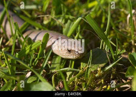 slow worm - Stock Photo