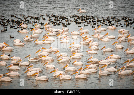 A flock of Great White Pelican (Pelecanus onocrotalus) in the water, Photographed in the hulla valley, Israel - Stock Photo