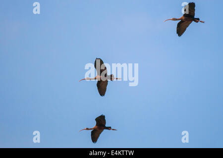 Three glossy ibis (Plegadis falcinellus) in flight blue sky background. Photographed in Israel in November - Stock Photo