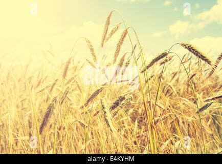Vintage natural background, golden wheat field. - Stock Photo