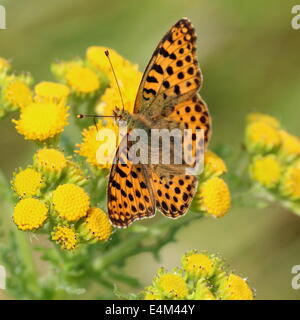 Close-up of a Queen of Spain Fritillary butterfly (Issoria lathonia) - Stock Photo