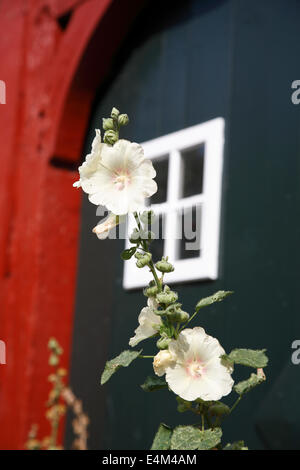 Hollyhock in front of an old house, Lueneburg, Lüneburg, Lower Saxony, Germany, Europe - Stock Photo