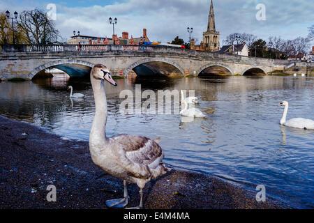 Swans and Bedford Bridge, Bedford, UK - Stock Photo