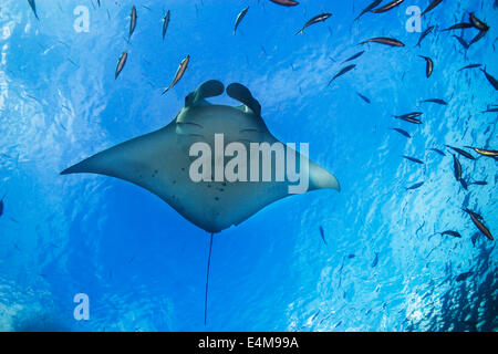 Manta Ray, Manta birostris, swimming below the surface, German Channel, Palau, Micronesia, Pacific Ocean - Stock Photo