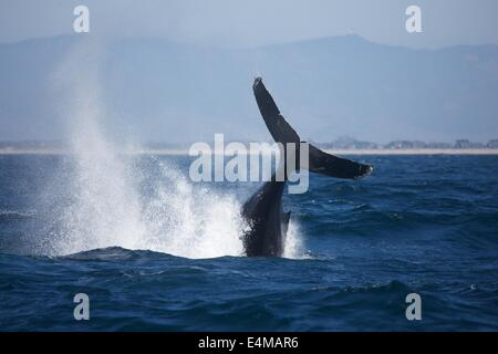 A humpback whale breaches in Monterey Bay, off Moss Landing Harbor, near Monterey, California - Stock Photo
