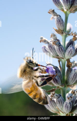 A honeybee foraging on lavender - Stock Photo