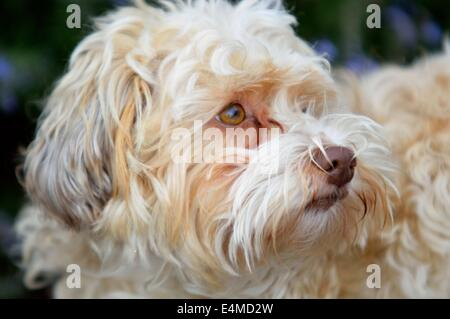 Havanese Dog - Stock Photo