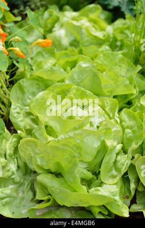 Close-up of green butterhead lettuce (Lactuca sativa) in a garden field. Organic gardening. - Stock Photo